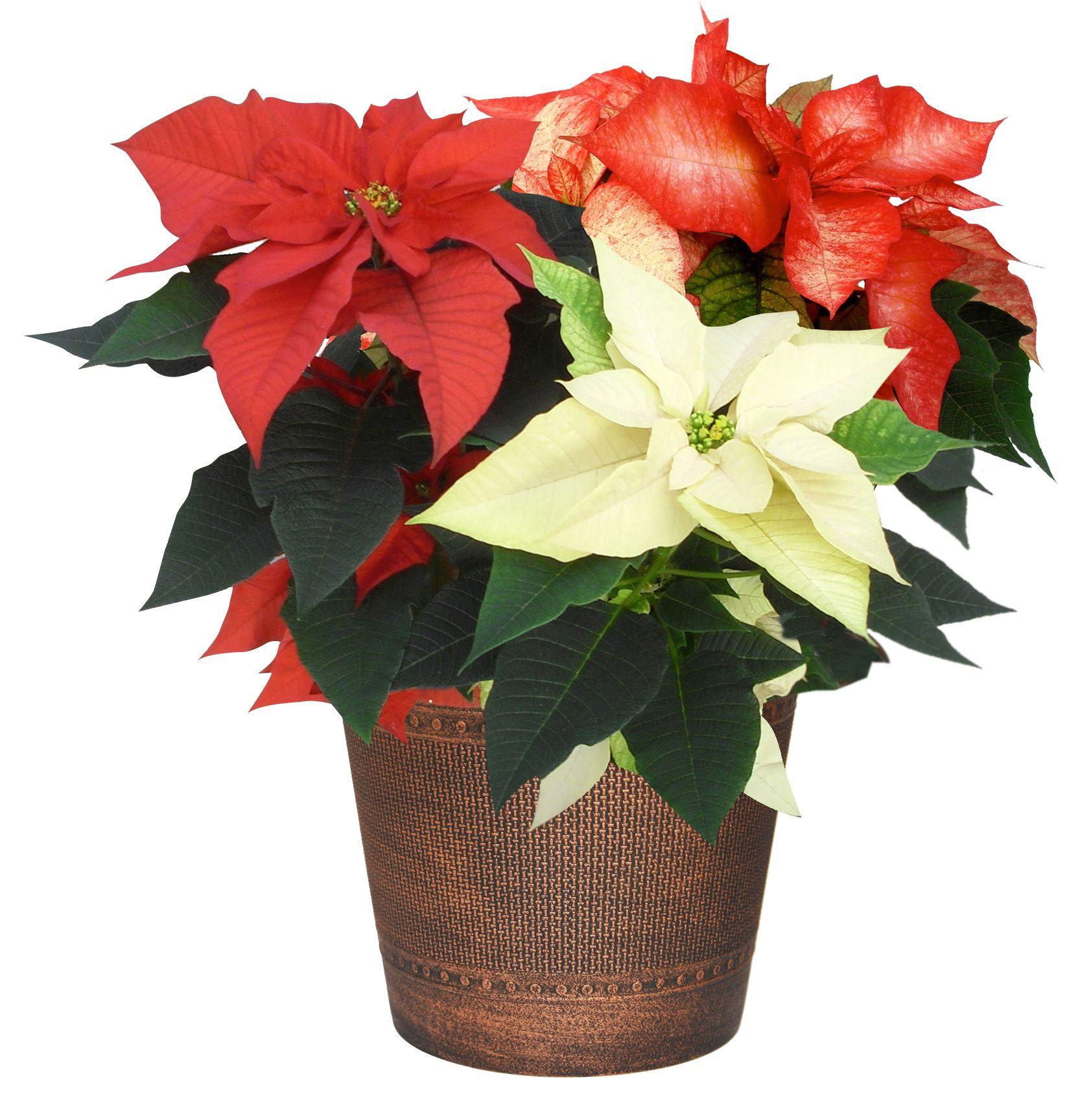 Tri-color poinsettia | Holiday Plants & Decorating | Pinterest | Plants
