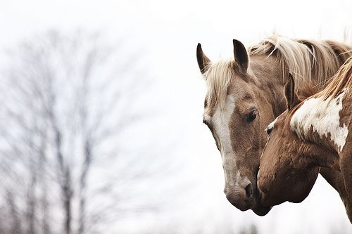 https://m.flickr.com/#/photos/13891826@N02/5678113254/ || winter palomino horse | winter chestnut overo pinto