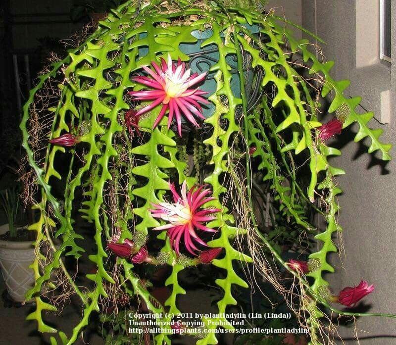 Cryptocereus Antonyanus Con Immagini Piante Di Cactus Piante