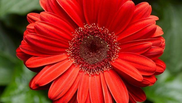 Gerbera Daisy Bengal Red With Eye F1 Gerbera Jamesonii A New Gerbera Daisy With Bigger Beefier Eye Catching Blooms Edible Garden Gerbera Gerbera Jamesonii