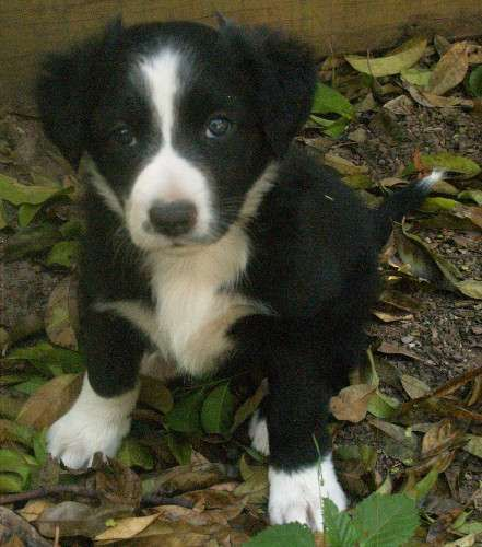 Pin By Pups4sale Com Au On Border Collie Puppies Puppies For