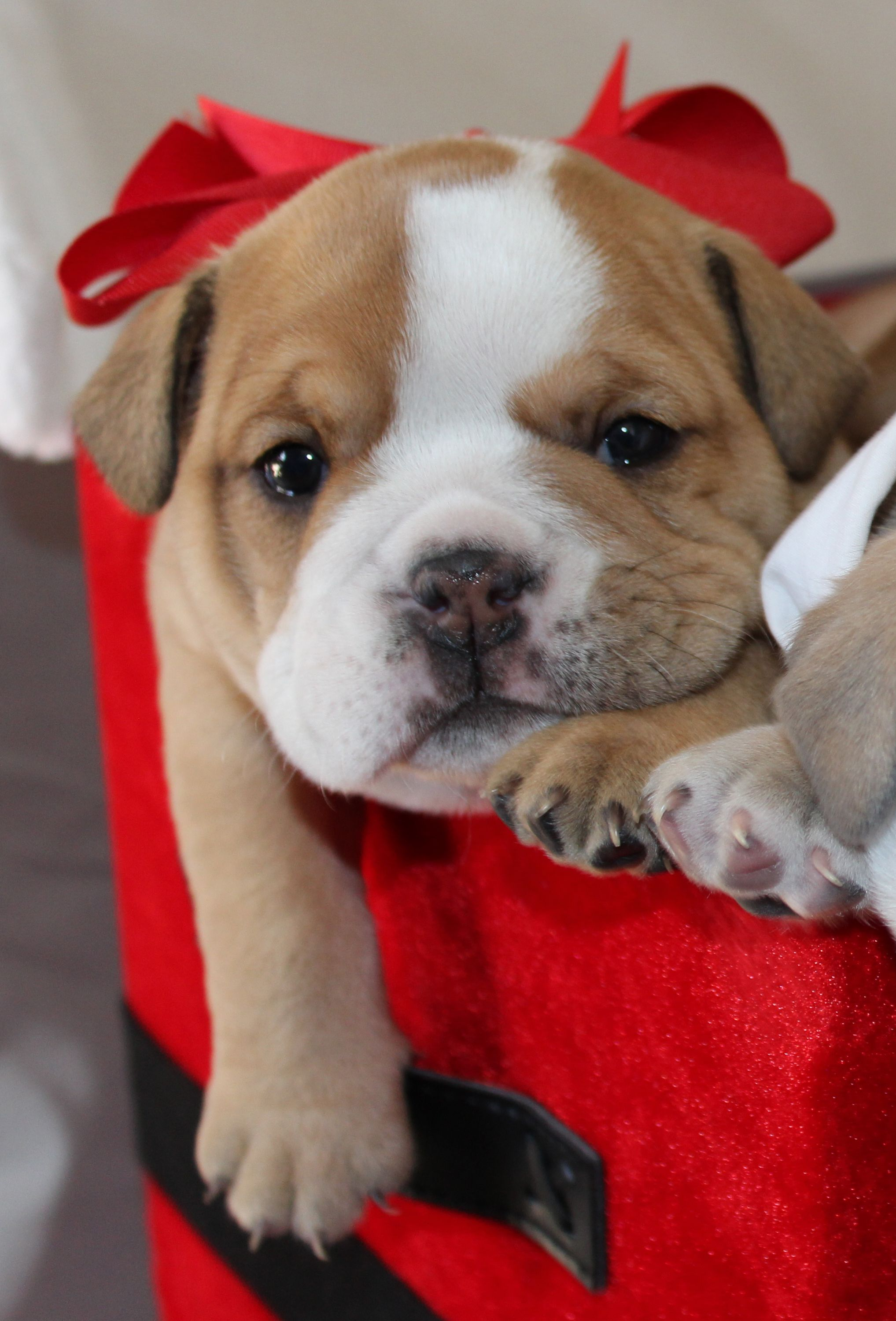 Cutest English Bulldog puppy Perfect t under the tree this