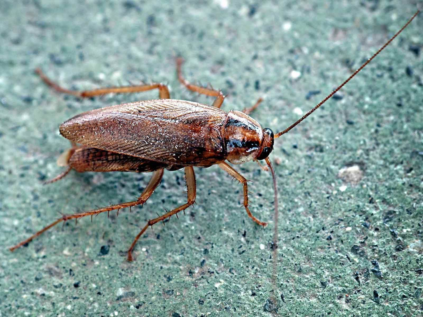 Cockroach extermination and control London for businesses