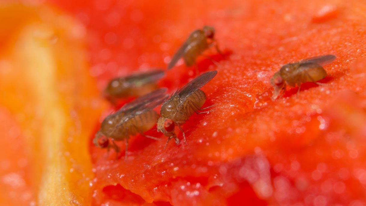 Fruchtfliegenfalle Selber Machen So Geht Es Ganz Einfach Fruchtfliegenfalle Fruchtfliegen Fruchte
