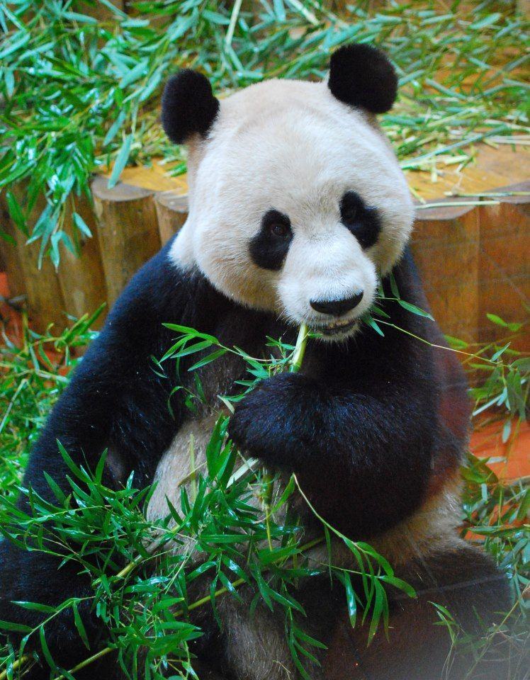 Have You Visited The 2 Giant Pandas Now Living At Edinburgh Zoo Looking For A Place To Stay Try The Holi Romantic Things To Do Edinburgh Zoo Romantic Animals