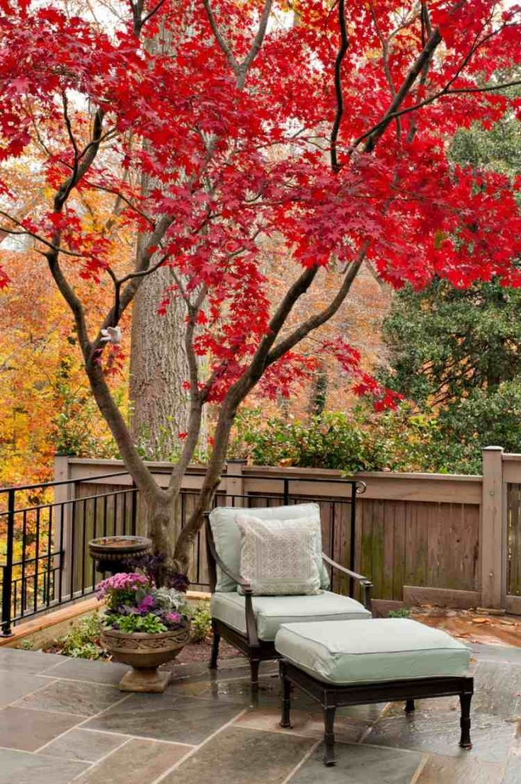 Roter Fächerahorn Auf Der Terrasse Und Sessel Unter Dessen Krone