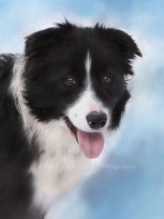 Border Collie Dog Winter Portrait Wisconsin Black By Barblassa
