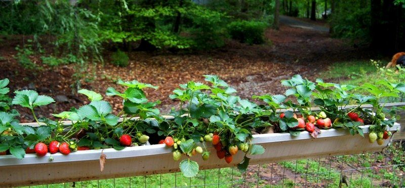 6 Diy Ways To Grow A Vertical Strawberry Garden Porch Com Strawberry Garden Strawberry Plants Gutter Garden