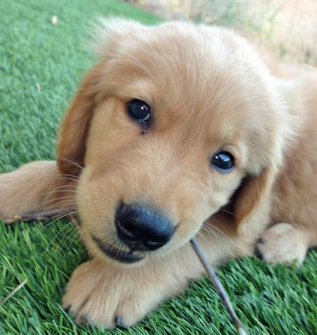 Simba The Golden Retriever Via The Daily Puppy I Cannot Tell You