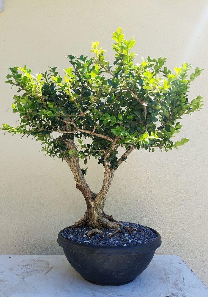 Old Japanese Boxwood Bonsai Tree,,, SALE