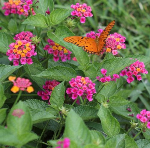 Butterflies Love The Lantana Plant Lantana Plant Lantana Plants