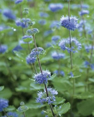 Great plants for a fall cutting garden perennials cuttings and plants blue spirea caryopteris incana zones 8 9 is a subshrub meaning its woody at the base but dies back in winter like a perennial blooms early fall mightylinksfo