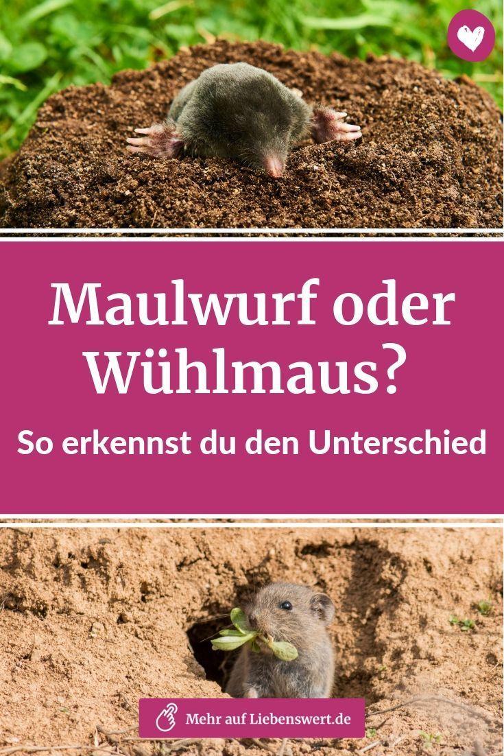 Es Ist Nicht Immer Eindeutig Wer Fur Die Lastigen Erdhaufen Im Garten Verantwortlich Ist Wir Klaren Dich Uber Maulwurf Im Garten Maulwurf Wuhlmaus Vertreiben