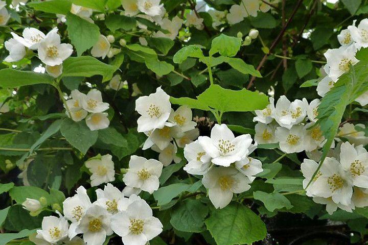 Obiela Wielkokwiatowa Groniasta Exochorda Racemosa Rosliny Krakowscy Pl Small Gardens Plants Small Garden