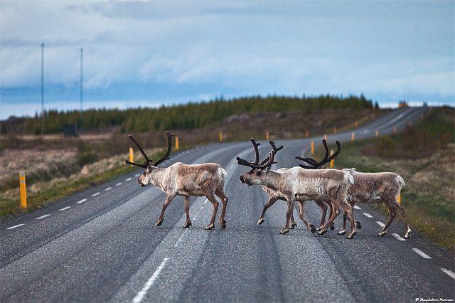 Reindeer crossing the highway on the east coast of Iceland.