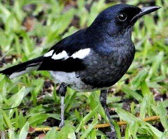 Suara Kacer Betina Mp3 Untuk Memancing Buka Paruh Burung Gacor Betina Suara Burung