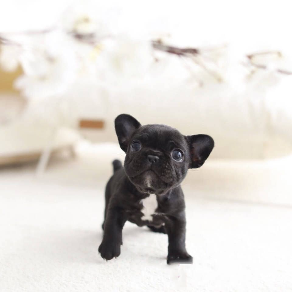 Related Image French Bulldog Cute French Bulldog Puppy Breeds