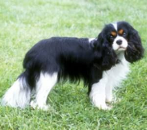 Caviler King Charles Spaniel Otherwise My Favorite Dog In The Colors I Want It Chien Noir Et Blanc Chiens Noirs Chien