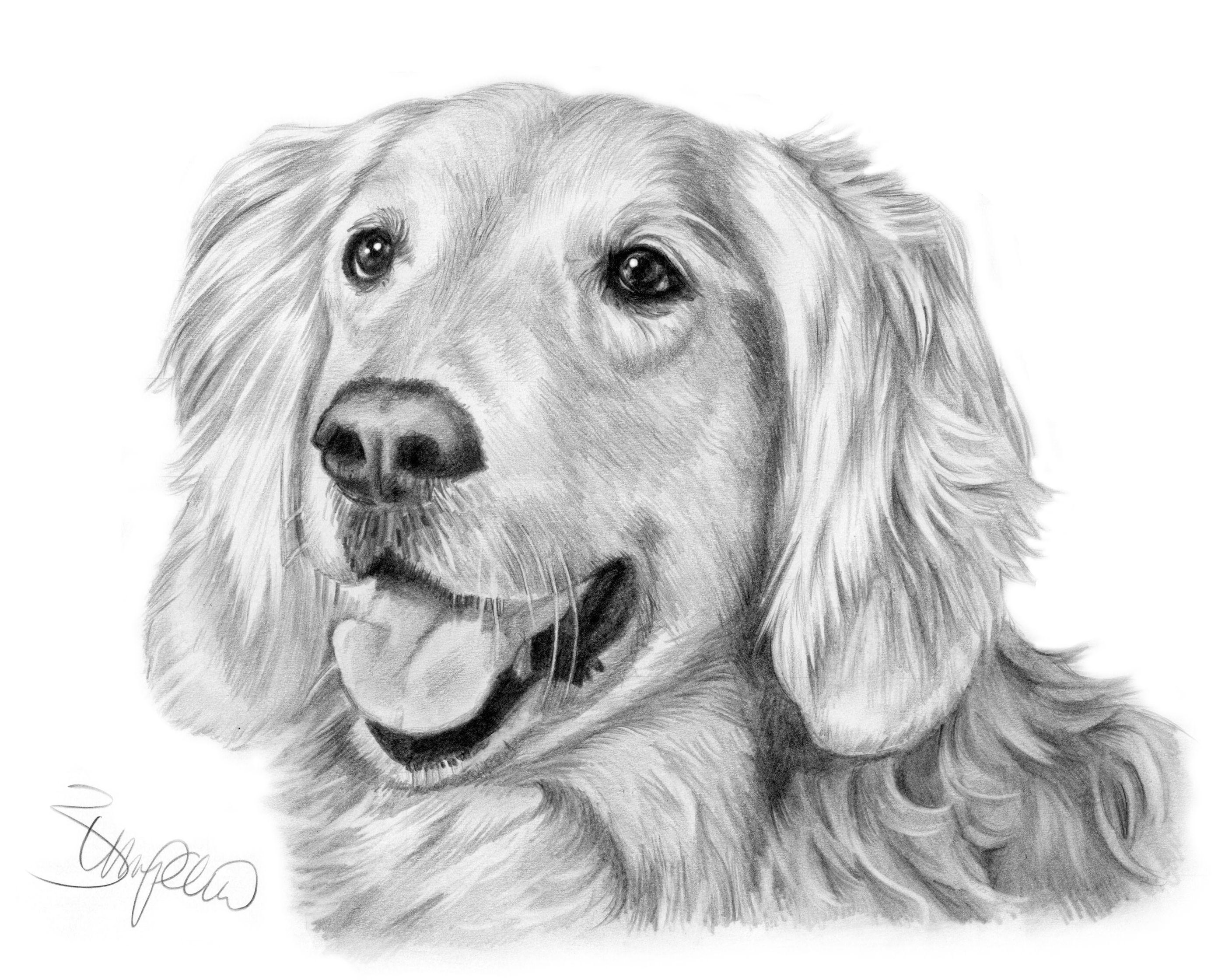 Pencil Portrait Of Golden Retriever Drawn By Wendy Zumpano Www Pencilportraitcards Com Golden Retriever Drawing Golden Retriever Art Dog Art