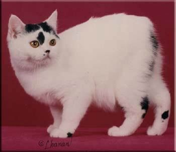 Beautiful Cat Breeds Pretty Cats Manx Cat