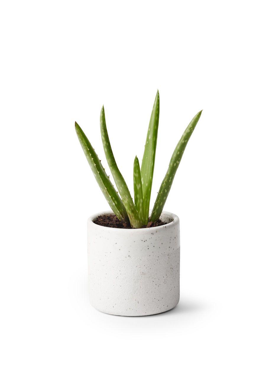 Vanning Aloe Vera