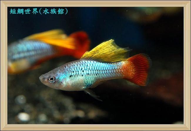 Redtail Blue Variatus Platy Aquarium Fish Cool Fish Tropical Fish
