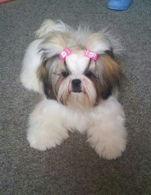 Shih Tzu Girl Cute Dogs Dog Haircuts Shih Tzu Puppy