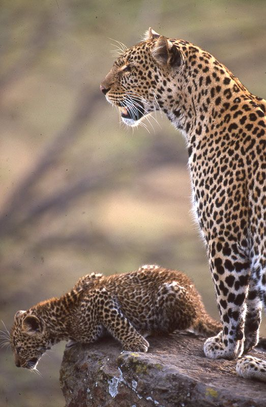 Revealing the Leopard ~ Photo Gallery | Nature | PBS