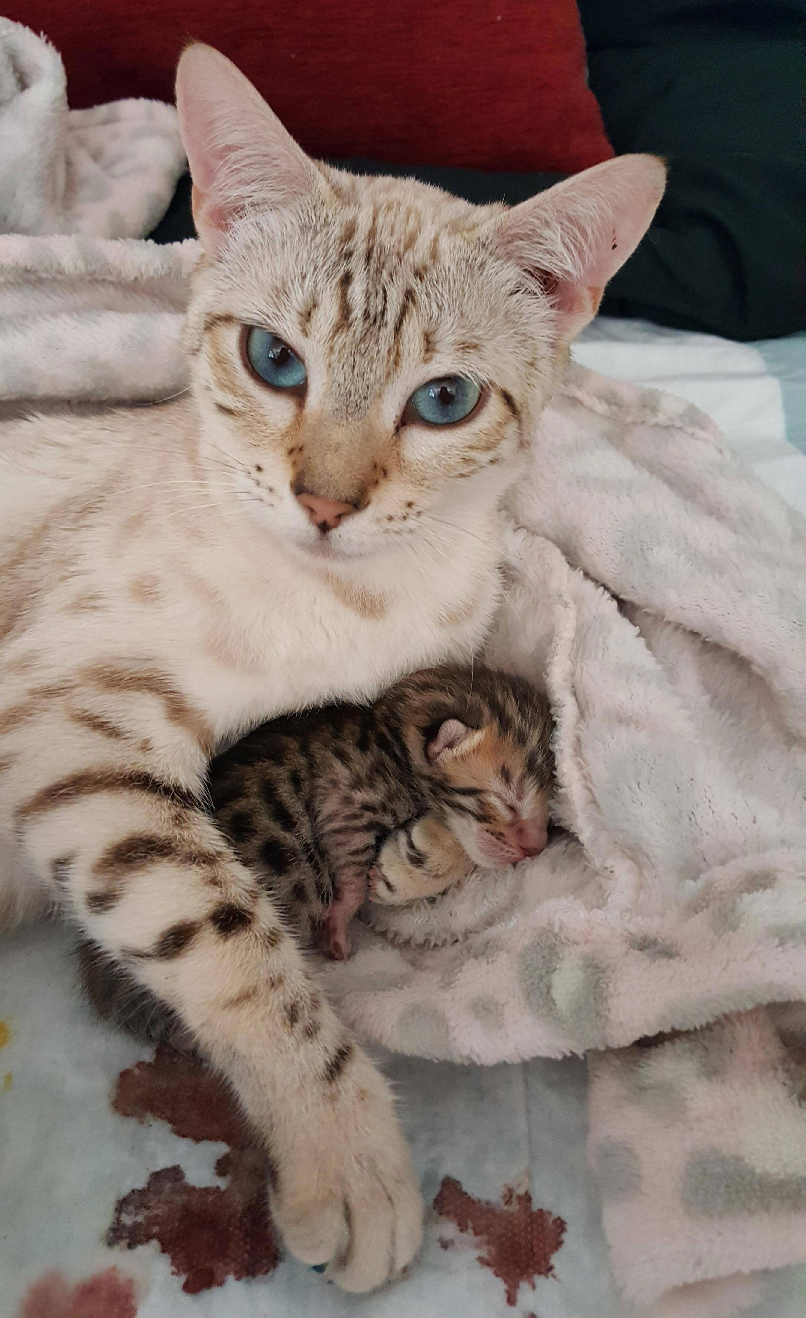 The Beautiful Love Story Of A Purebred Bengal Cat And