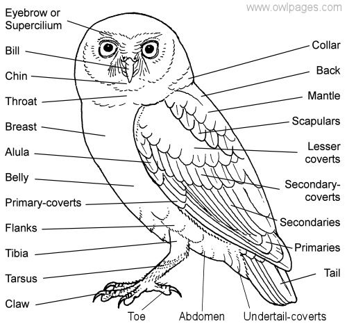 General Owl Physiology  The Owl Pages Parts of a typical Owl This owl is from the genus