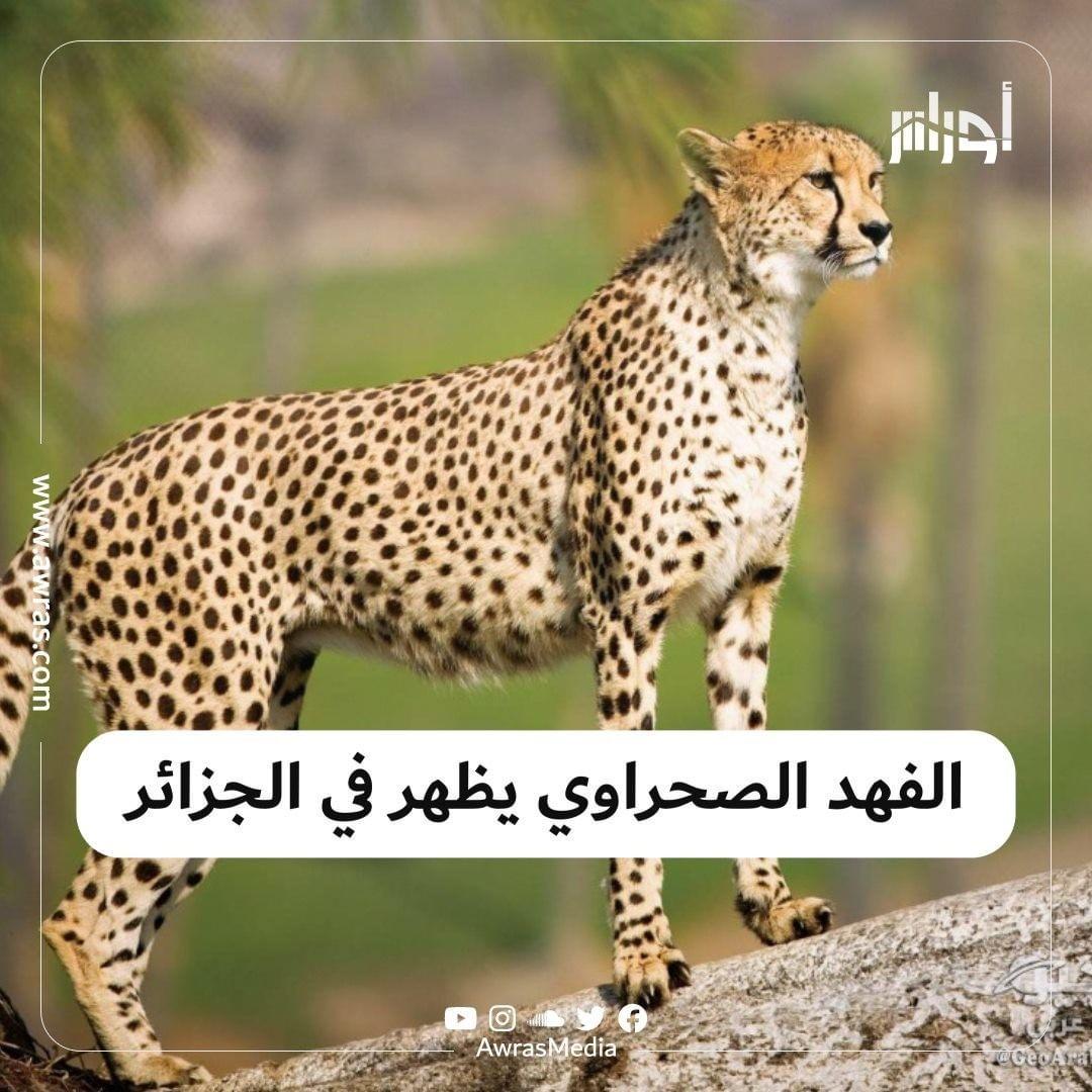 Awras أوراس On Instagram بعد بحث استمر 15 سنة وتطلب أكثر من 50 خبيرا الفهد الصحراوي يظهر من جديد Animals Algeria Tourism