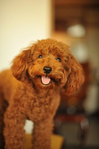 Toy Poodle Apricot Puppy Pretty Color Cute Dogs Dog Breeds