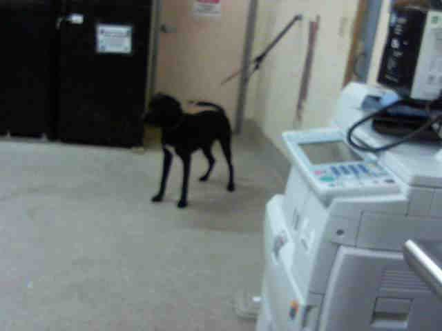 Labrador Retriever dog for Adoption in Tavares, FL. ADN-524044 on PuppyFinder.com Gender: Male. Age: Adult