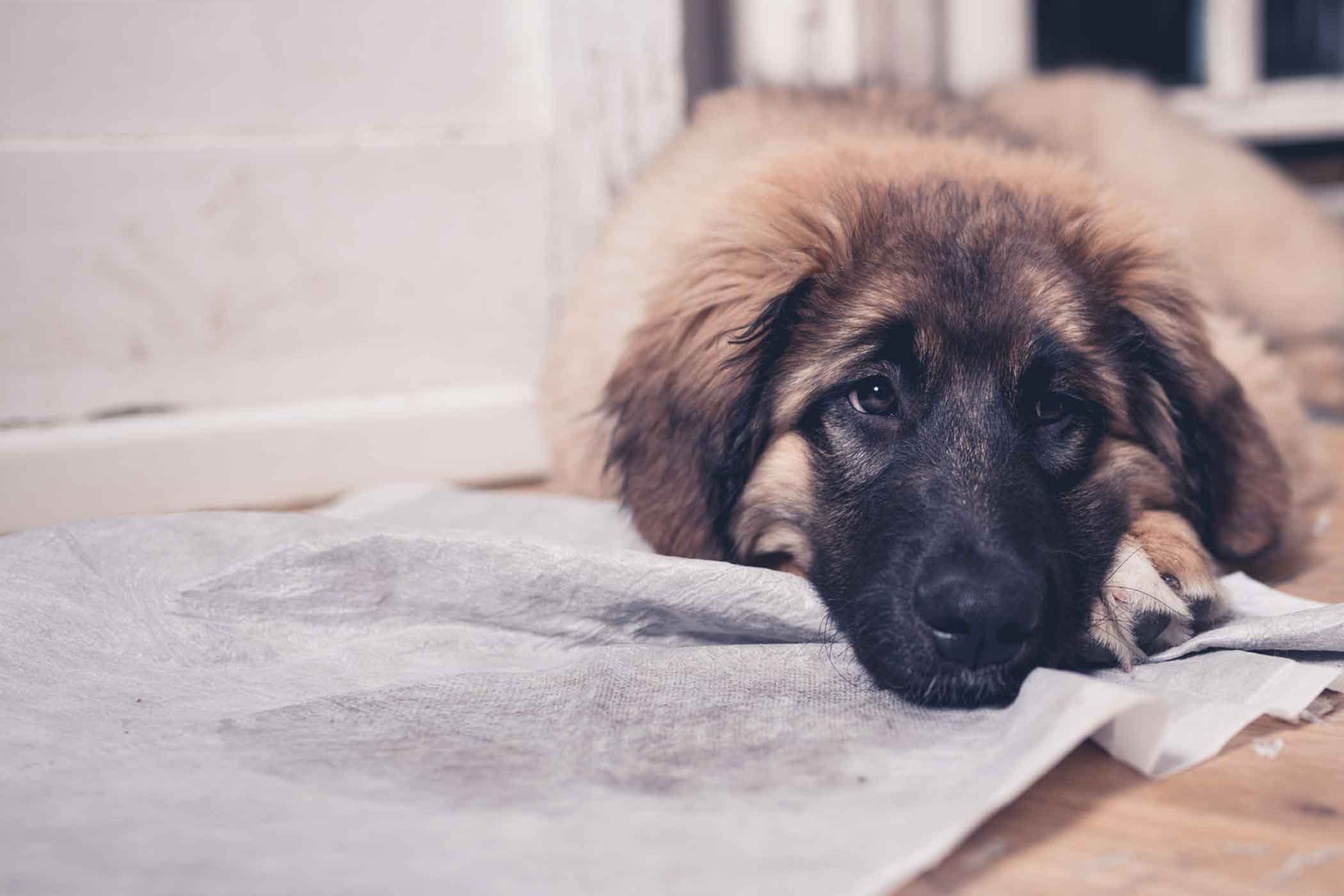 How To Train Your Older Dog To Use A Pee Pad Dog Pee Pads Dog