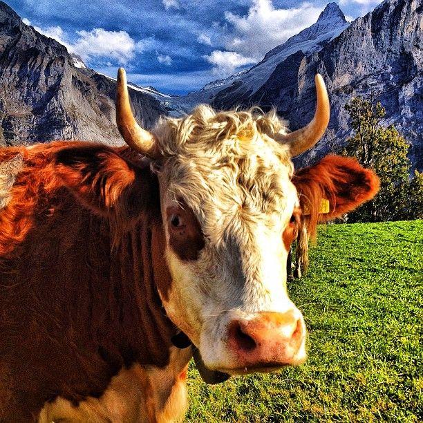 I love this cow. #Switzerland #expediaatatws