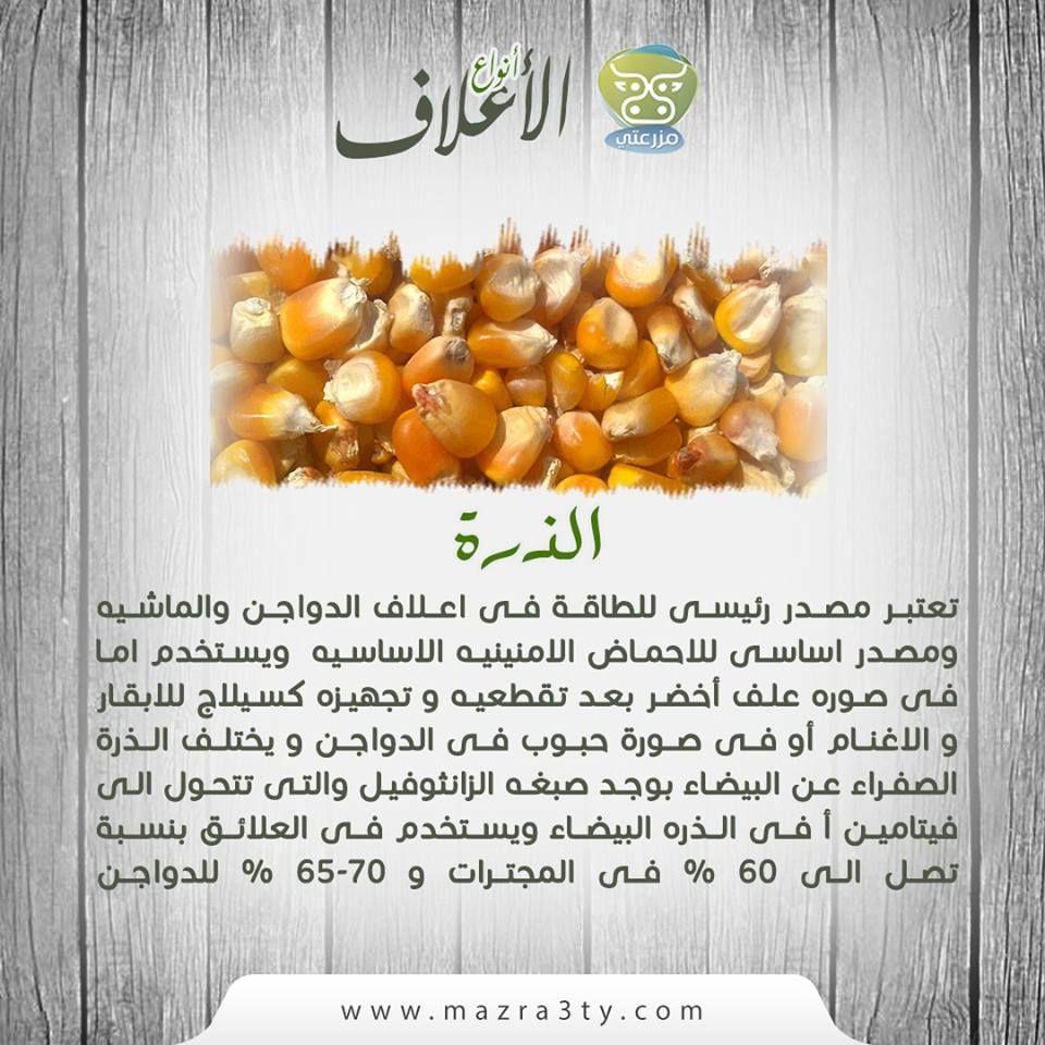 تعتبر الذرة مصدر رئيسى للطاقة فى اعلاف الدواجن والماشيه و مصدر اساسى للاحماض الامنينيه الاساسيه ويستخدم اما فى صوره علف أخضر بعد تقطعيه و Food Vegetables Corn