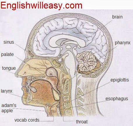 Human Body Parts Sinus Palate Tongue Larynx Adams Apple Vocab