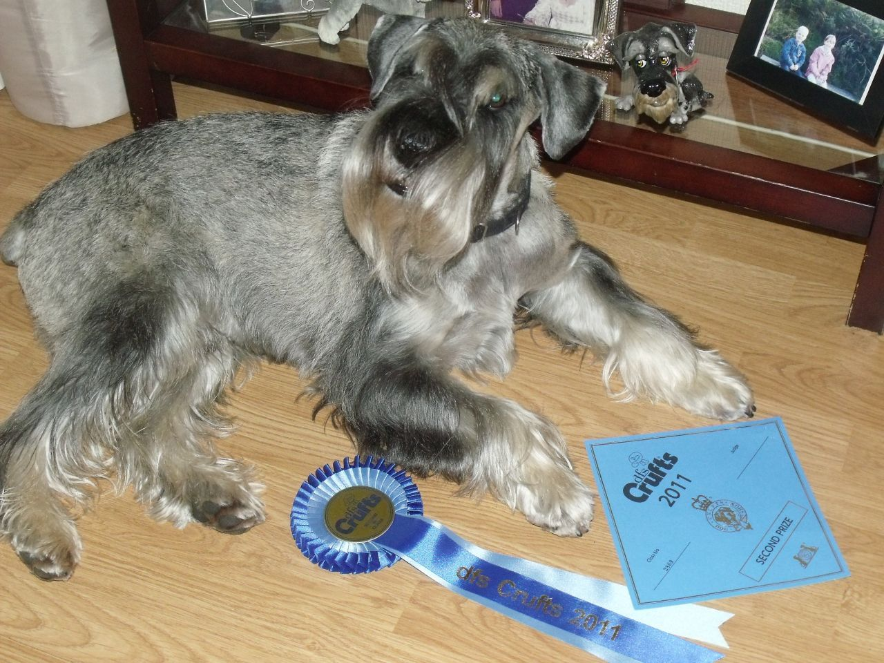 Standard Schnauzer Puppies For Sale Lochgelly Fife Pets4homes