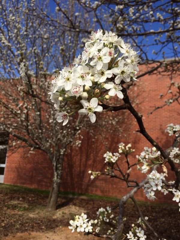 Bradford Pear Pyrus Calleryana Your Tree Looks Like An Ornamental Bradford Or Callery Pear Originating From South East Bradford Pear Color Change Flowers