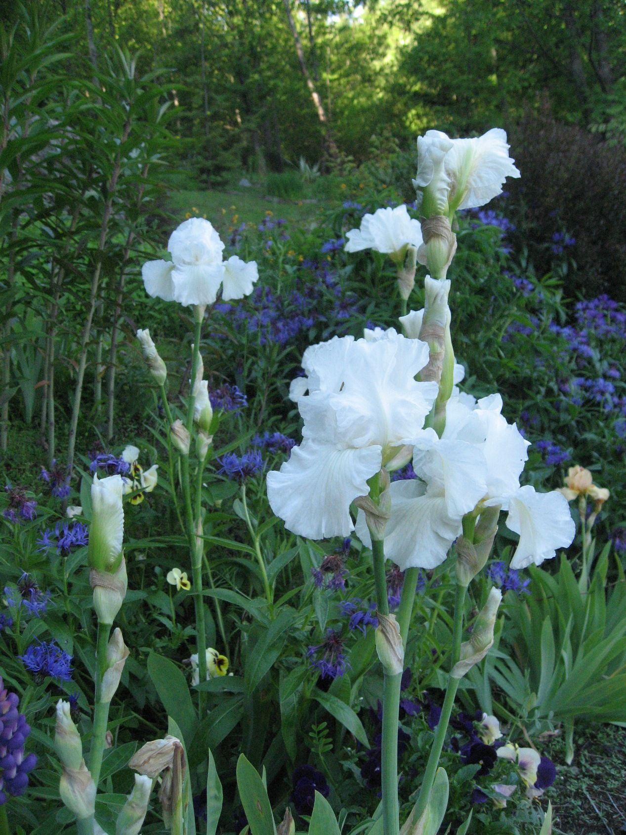 Tall Bearded White Iris Battery Hill Garden At Pencarrow Flowers
