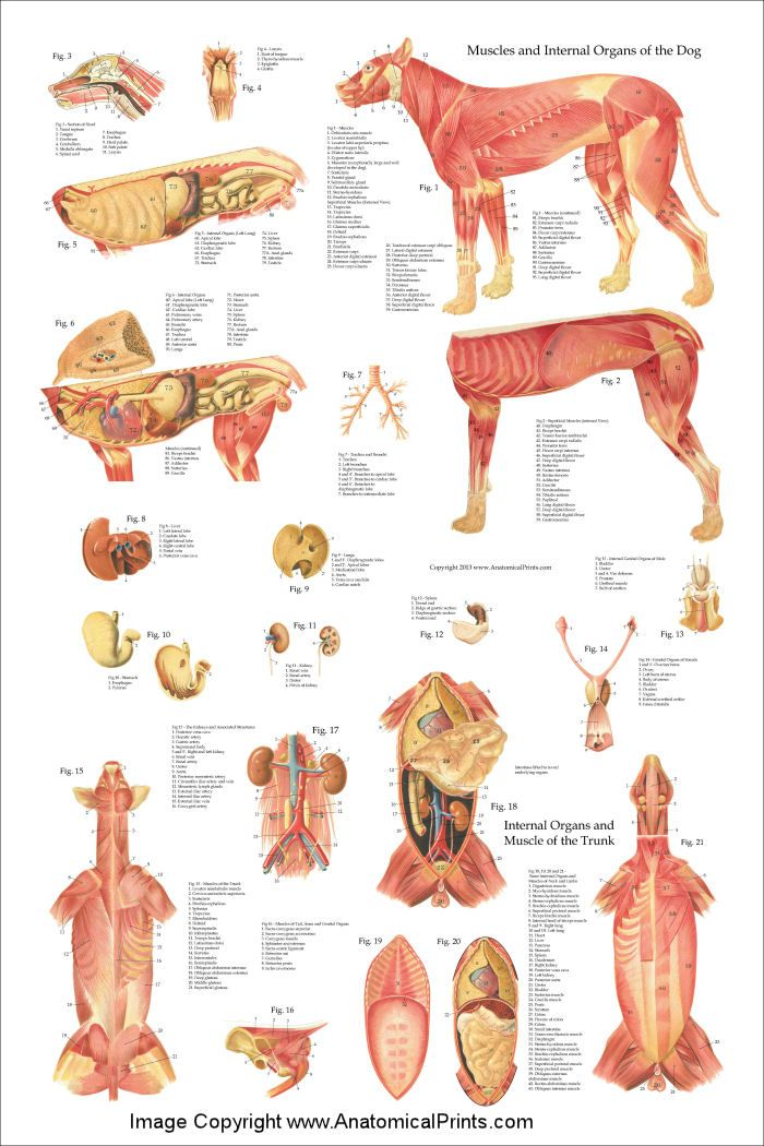 Dog Muscles And Internal Anatomy Poster 24 X 36 Pinterest