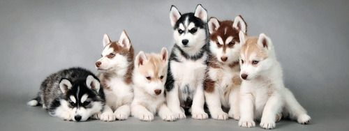 Husky puppies are possibly the cutest things I've ever seen. I want a little red husky someday!