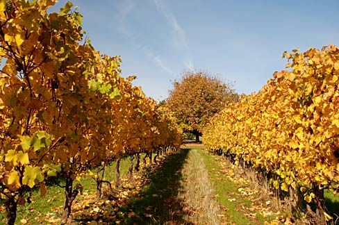 Fall colors at a vineyard on Quarry Road near Newberg