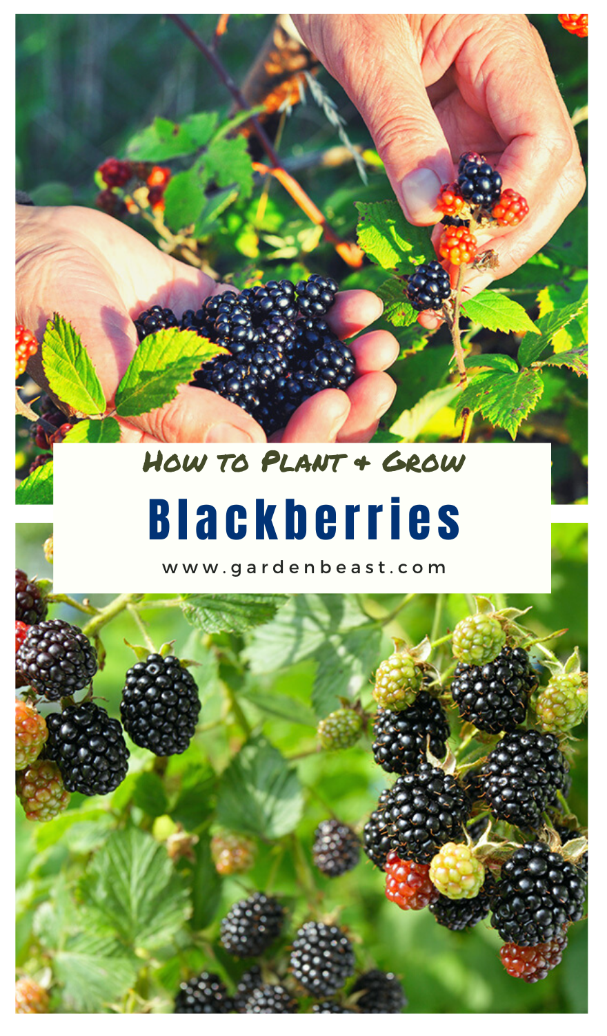 How To Grow Blackberries Tips For Planting Growing Complete Guide In 2020 Growing Blackberries Growing Vegetables In Pots Growing Fruit Trees
