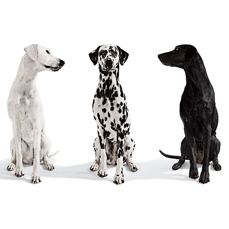 Green-Eyed: The Benefits of Envy | Dalmatian dogs, Black and white dog,  White dogs