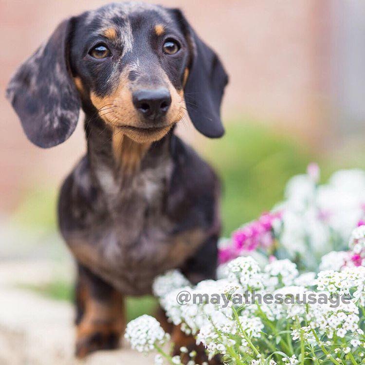 Silver Dapple Miniature Dachshund Dachshund Breed Clever Dog