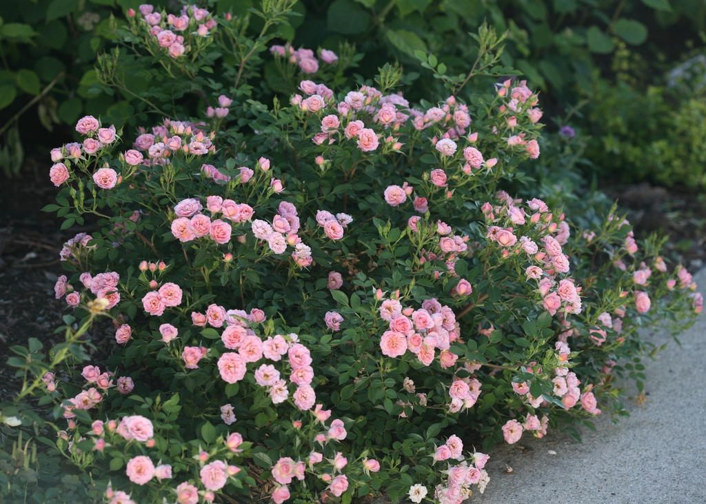 Compact Plants Oso Hy Pe Pink Rose Stays Under 3 Feet Tall