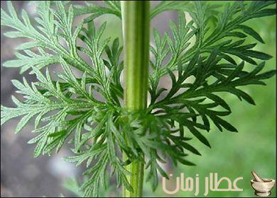 تعرف على فوائد الشيح البلدي الطارد لديدان البطن عطار زمان Herbs Plants Alternative Medicine