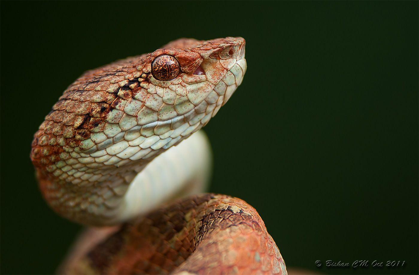 Malabar Pit Viper-Orange Morph.   Pretty Snakes   Pit ...