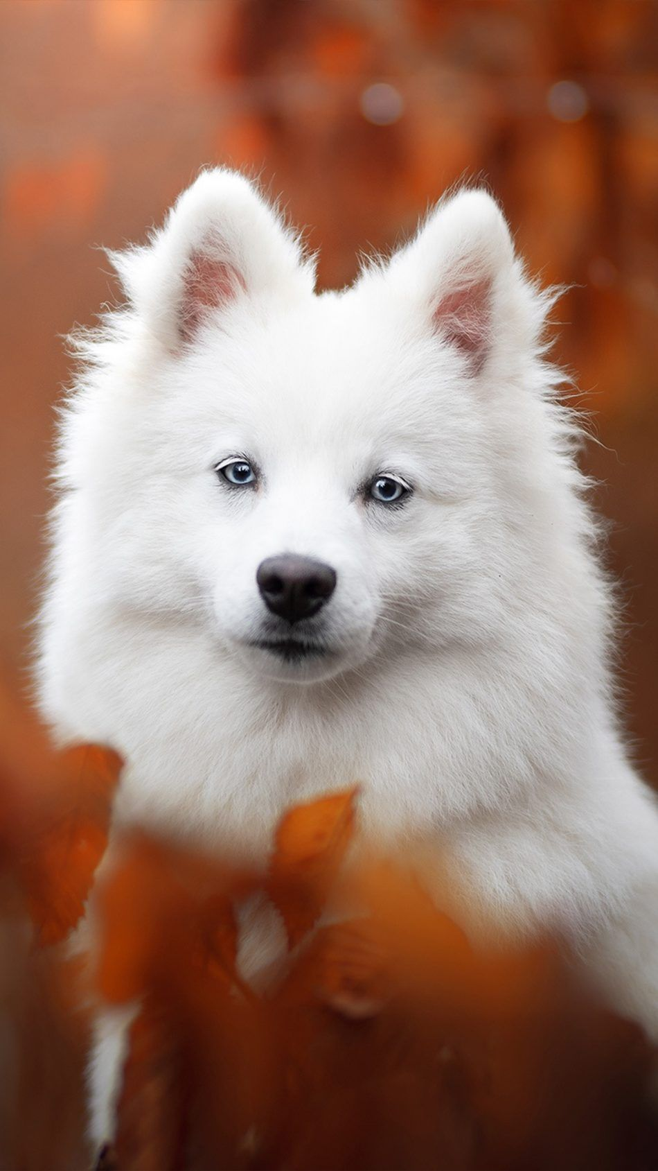 Spitz Pet Dog Cute baby animals, Baby animals, Cute animals